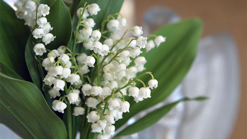 Muguet : le brin porte-bonheur est au rendez-vous pour le 1er mai